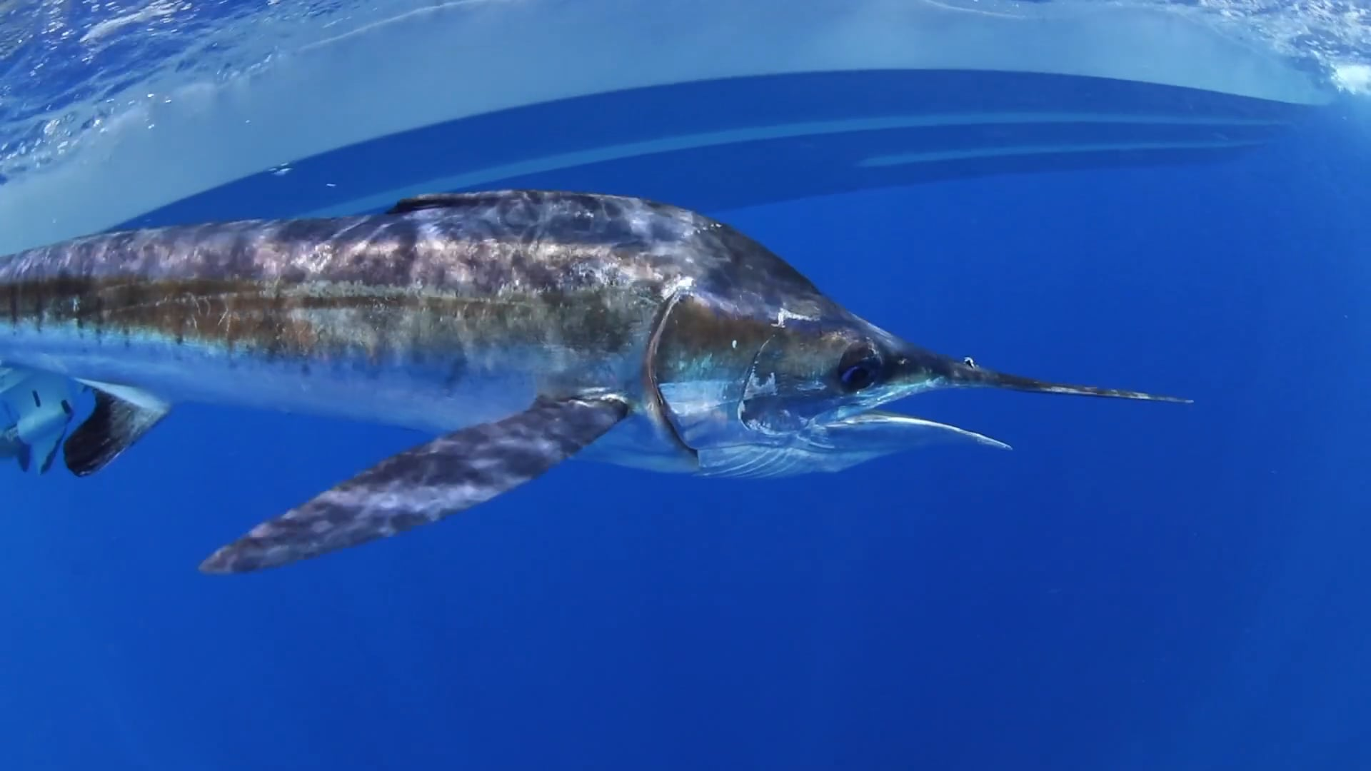 Closeup of marlin with underside of Pursuit boat in background.